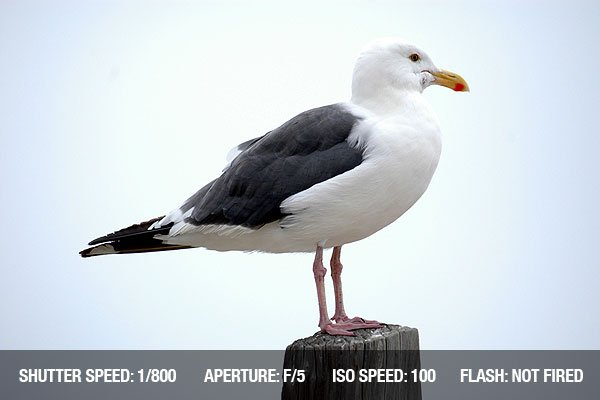 Beach Photography - Iconic seagull sitting on a wood post on the beach