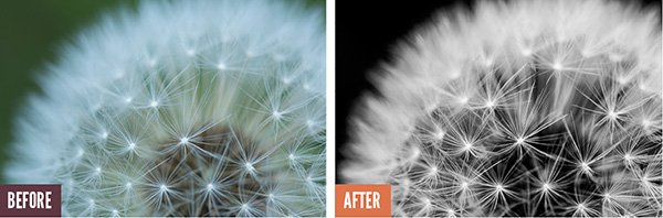 Dandelion Before and After Lightroom