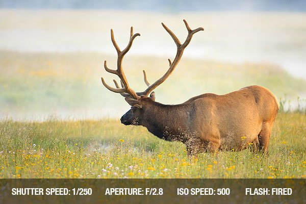 Outdoor Photography - Large bull elk with velvet covered antlers standing in meadow of lush grass and wild flowers.