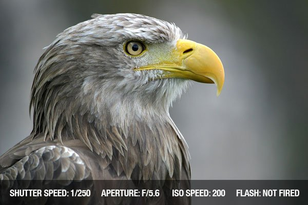Close-up portrait of a beautiful american bald eagle