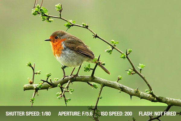 Robin sitting on a branch of a hawthorn tree in spring