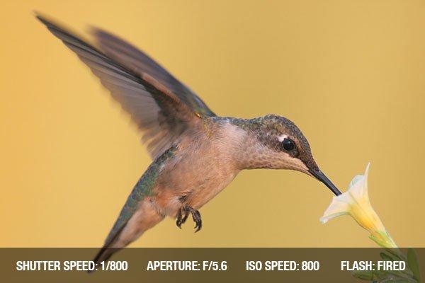 Ruby-throated Hummingbird (archilochus colubris) in flight