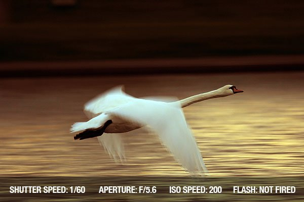 A swan flying over a lake reflecting the golden evening light