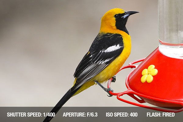 Male Hooded Oriole with beautiful yellow and black coloring, perched on a hummingbird feeder