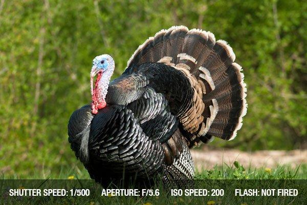 Wild turkey standing in green meadow