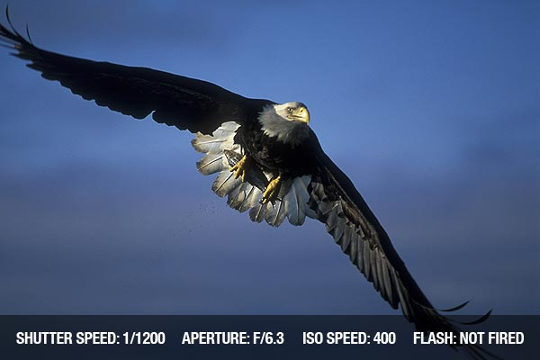 Bald eagle in action