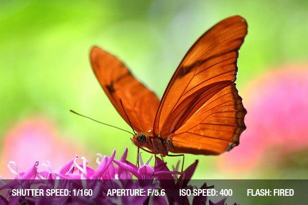 Orange Butterfly on purple butterfly weed