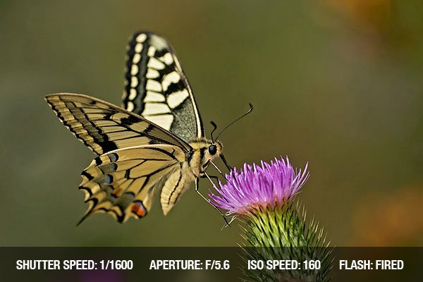 Swallowtail butterfly feeding on a pink flower