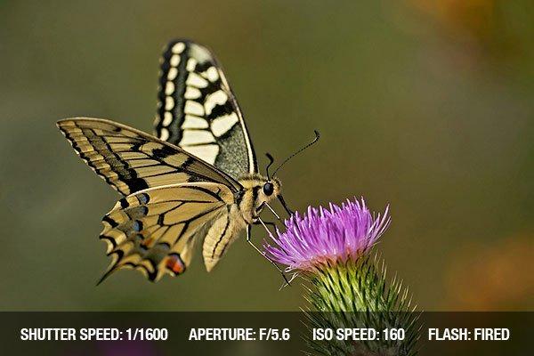 Swallowtail butterfly feeding on a pink flower