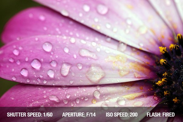 Macro detail of the petals of a pink daisy with drops of water