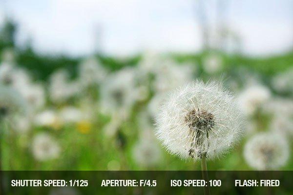Dandelion in shallow dandelions field background