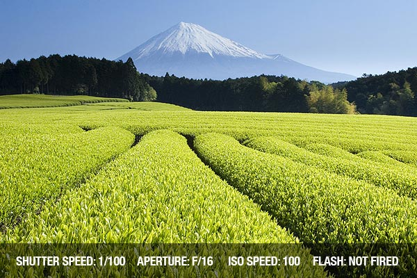 Fresh Green tea fields spread out below Mount Fuji