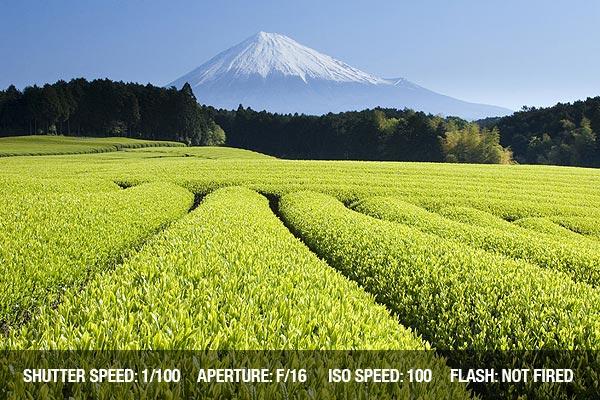Fresh Green tea fields spread out below Mount Fuji