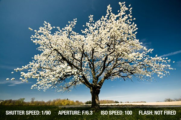 Single blossoming tree in spring