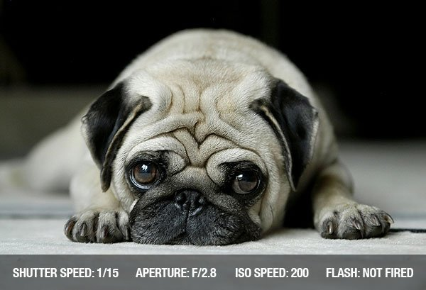 Photograph of a Dog (pug) lying on carpet, looking into the camera with sad eyes
