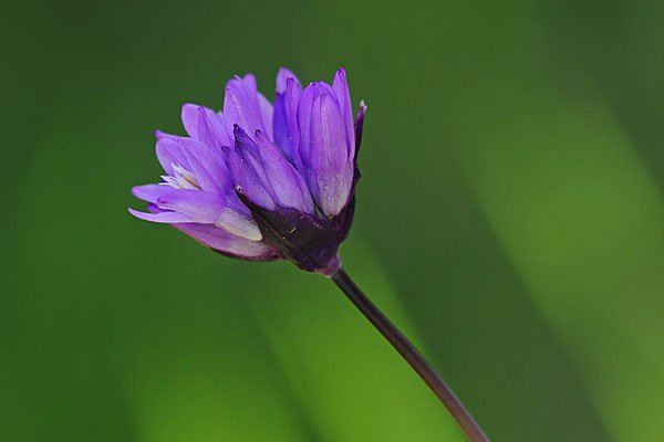 Flower Photograph (Blue Dicks (Dichelostemma capitatum)) from the Wildflower Photography eBook
