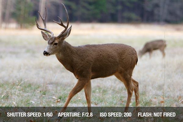 White-tailed Deer in Yosemite