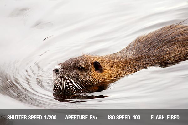 Beaver swimming on a lake