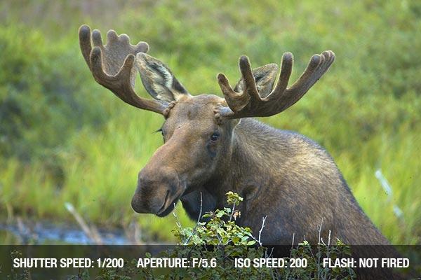 Moose in Denali national park