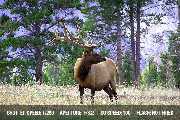 Yellowstone elk grazing in the woodland