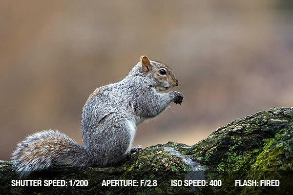 Eastern grey squirrel eating a nut it just found