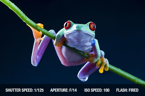 Picture of an Agalychnis Callidryas, commonly know as the Red-eyed tree Frog