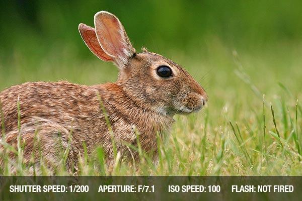 Eastern cottontail rabbit (Sylvilagus floridanus) in the wild